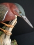 green heron photo 2