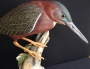 green heron photo 3